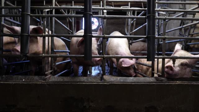 schweine auf dem hof - large group of animals stock-videos und b-roll-filmmaterial