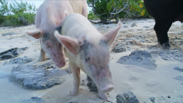 pigs piglet tropical uninhabited island bahamas caribbean usa - animal attribute stock videos and b-roll footage