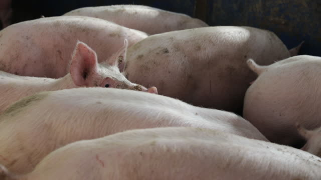 pigs root in an indoor pigsty on a livestock farm in ohrenbach germany on monday jan 20 2020 despite its relatively small size compared with... - livestock stock videos & royalty-free footage