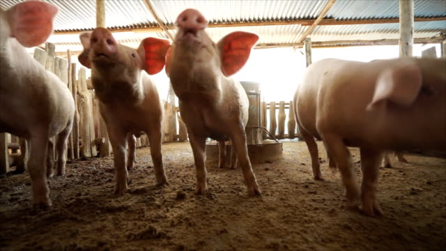 pigs treated camcorder and climb snout in the lens - hay stock videos & royalty-free footage