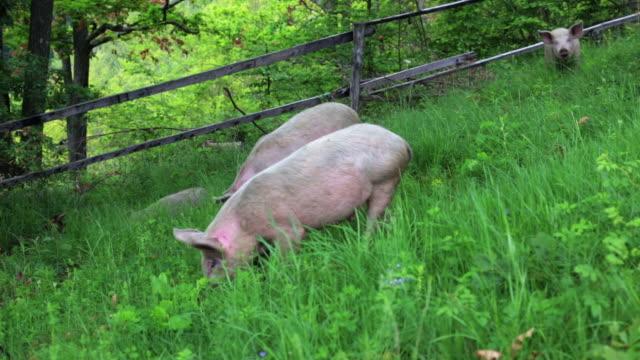 vídeos y material grabado en eventos de stock de los cerdos - grupo mediano de animales