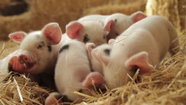 pigs - hay stock videos & royalty-free footage