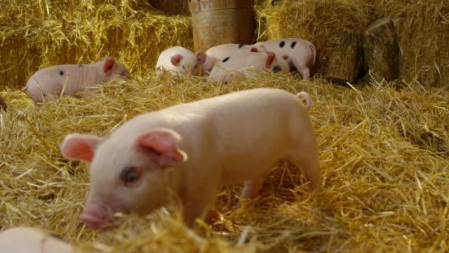 pigs - griskulting bildbanksvideor och videomaterial från bakom kulisserna