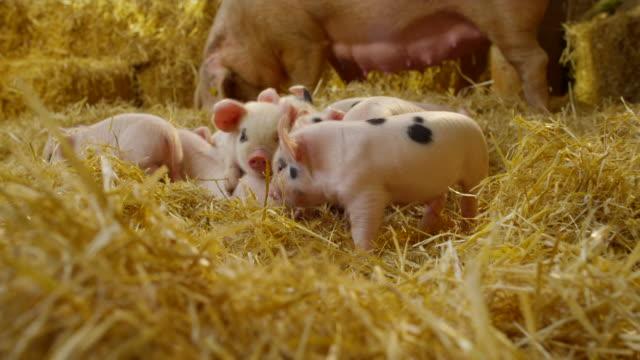 vídeos de stock e filmes b-roll de pigs - porco
