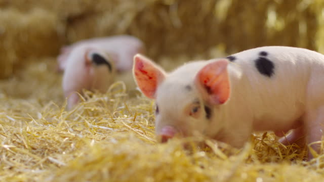 pigs - piglet stock videos and b-roll footage