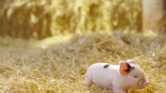 stockvideo's en b-roll-footage met pigs - keus