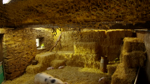 pigs - hay stock videos and b-roll footage