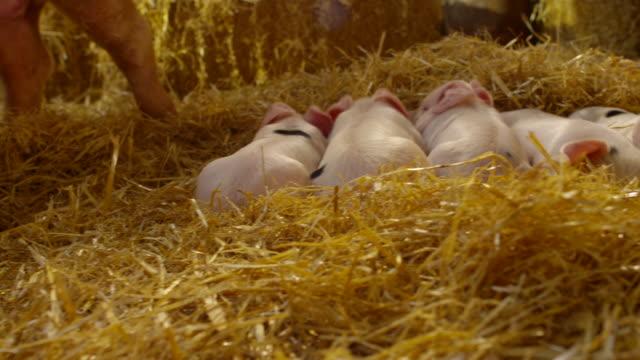 pigs - fianco a fianco video stock e b–roll