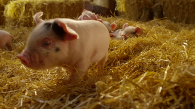 pigs - fieno video stock e b–roll