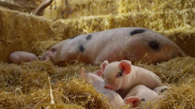 pigs - kleine gruppe von tieren stock-videos und b-roll-filmmaterial