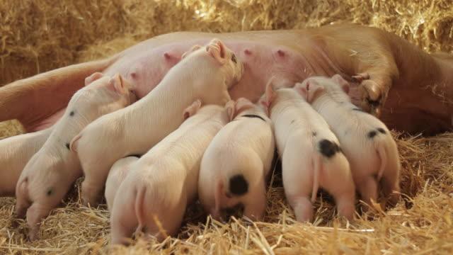 pigs - 数匹の動物点の映像素材/bロール