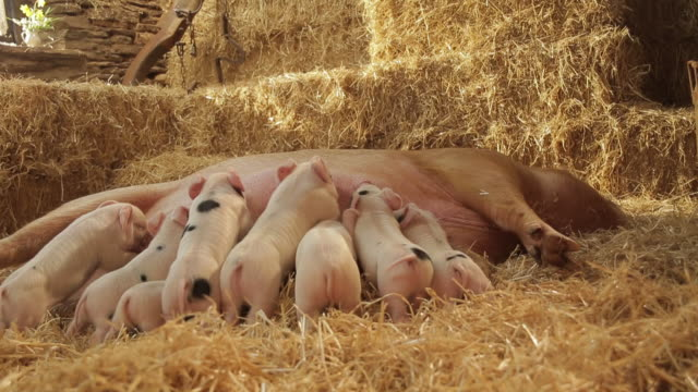 pigs - medium group of animals stock videos & royalty-free footage