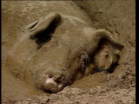 Pigs wallowing in mud baths including close shot of pig snout UK