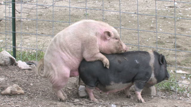 pigs xxx - hd 1080/30f - two animals stock videos and b-roll footage