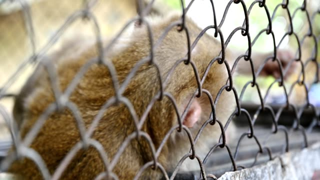 pigtail macaque monkey are stress and lonely - gabbia per gli uccelli video stock e b–roll