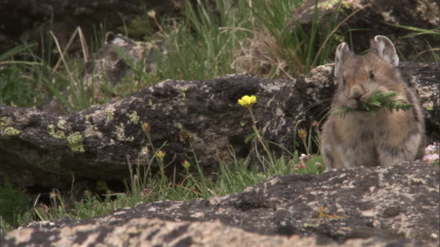 80 Top Pika Video Clips & Footage - Getty Images