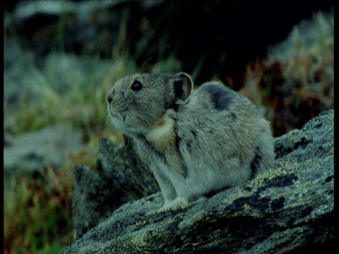 pika looks around and calls on rock, yukon - squiggle stock videos & royalty-free footage