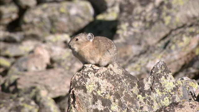 MS Pika sunbathing near rock crevice / ChaparrÌ_ Ecological Reserve, N/A, Peru