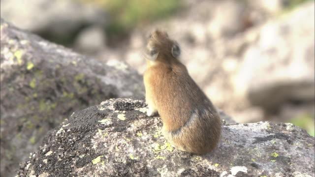 vídeos de stock, filmes e b-roll de pikas daisetsuzan volcanic group hokkaid_ - bigode de animal