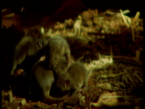 Pile of baby rats in nest, one falls off of the heap, Yorkshire