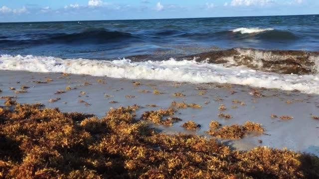 pile of seaweed on beach shore - seaweed stock videos & royalty-free footage