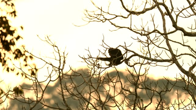 pileated gibbon in the nature, animal in the wild - monkey stock videos & royalty-free footage