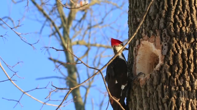 pileated woodpecker close up - audio available stock videos & royalty-free footage