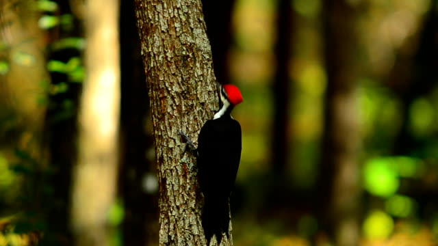 pileated woodpecker on small tree - foraging stock videos and b-roll footage