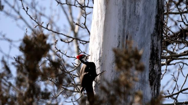 pileated woodpecker - montana western usa stock videos & royalty-free footage