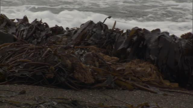 piles of kelp wash up along a coast. - alge stock-videos und b-roll-filmmaterial