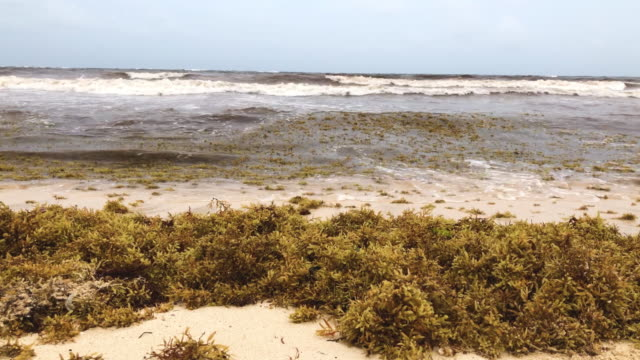 vidéos et rushes de piles of sargassum, a seaweed-like algae, sits on a beach on june 13, 2019 in tulum, mexico and ocean water upwelling brings nutrients up from the... - algues