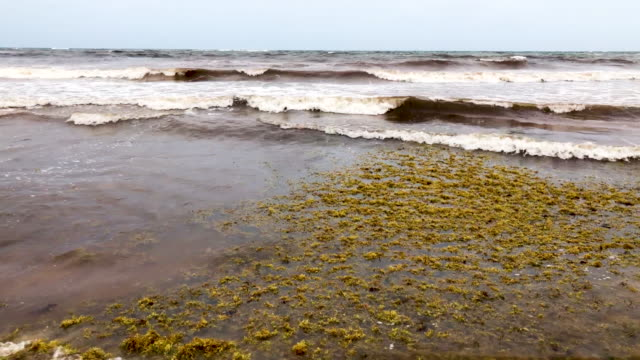 piles of sargassum a seaweedlike algae sits on a beach on june 13 2019 in tulum mexico and ocean water upwelling brings nutrients up from the bottom - tulum mexico stock videos & royalty-free footage