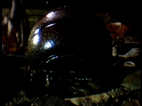 pill millipede unrolls and approaches camera south africa - tierisches exoskelett stock-videos und b-roll-filmmaterial