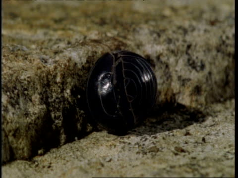 cu pillbug rolled in tight ball, slowly uncurls and runs off - raggomitolato video stock e b–roll