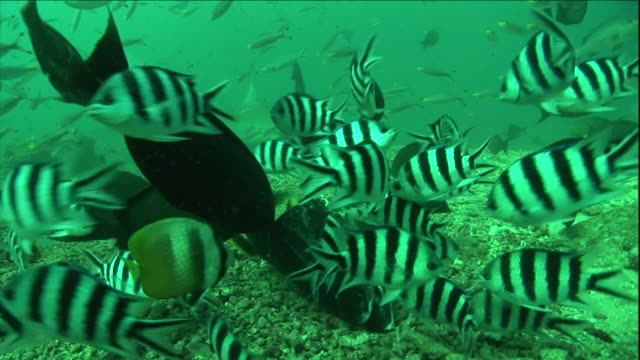 pilot fish and other fish swarm along the ocean floor. - pilot fish stock videos & royalty-free footage