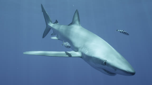 pilot fish follows blue shark in blue ocean, azores - pilot fish stock videos & royalty-free footage