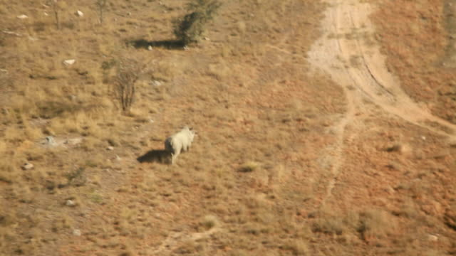 Pilot flying helicopter over the bushveld with rhino running along dirt road Rhino poaching is a major threat to the extinction of rhinos living in...