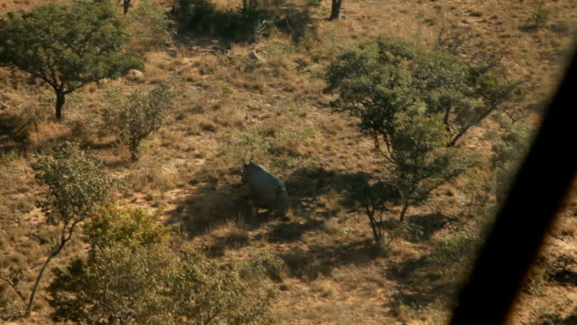 Pilot flying helicopter over the bushveld with rhino running between trees Rhino poaching is a major threat to the extinction of rhinos living in and...