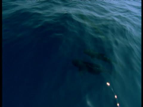 Pilot whale pod porpoises, Spain