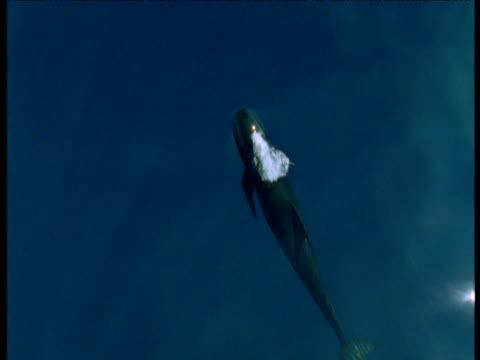 Pilot whale surfaces, Spain