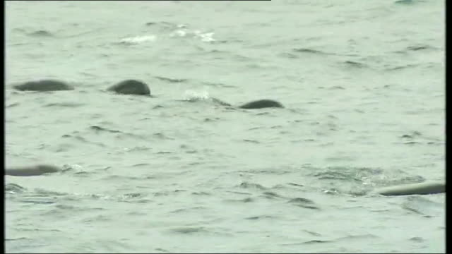 Pilot whales disappear assuaging concerns over stranding LIB / 21 May 2011 Various of pilot whales swimming in sea near coastline including wide shot...