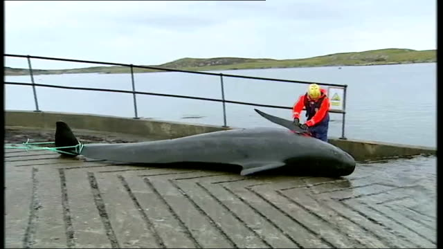 pilot whales disappear assuaging concerns over stranding scotland western isles south uist ext various shots of body of dead female pilot whale... - cetacea stock videos and b-roll footage
