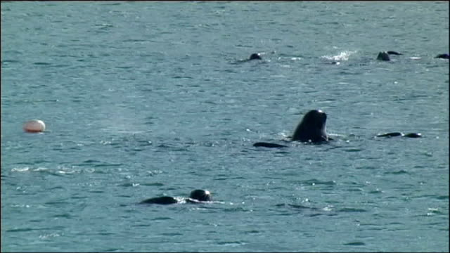 pilot whales in danger of beaching on western isles; scotland: western isles: south uist: ext various of pilot whales swimming in sea near coastline - aquatic organism stock videos & royalty-free footage