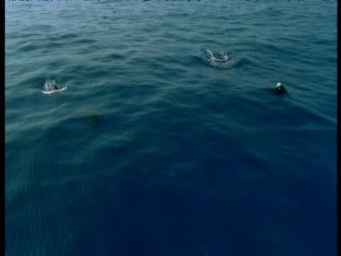 Pilot whales porpoise towards camera, Spain