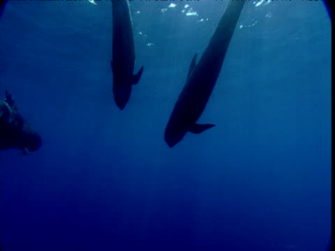 pilot whales swim from camera, spain - cetaceo video stock e b–roll