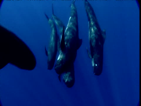 vídeos de stock, filmes e b-roll de pilot whales swim together in tight group towards, under and past camera, spain - bando de mamíferos marinhos