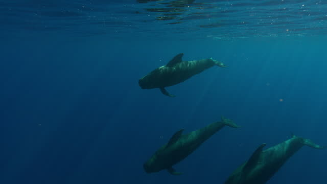 pilot whales - three animals stock videos & royalty-free footage