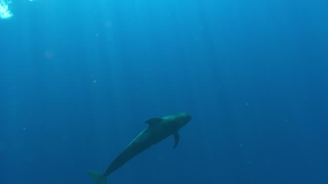 vídeos de stock, filmes e b-roll de pilot whales - ilhas do oceano atlântico
