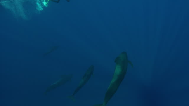 pilot whales - wal stock-videos und b-roll-filmmaterial
