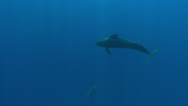 vídeos de stock e filmes b-roll de pilot whales - um animal
